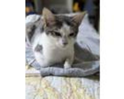 Adopt 5263 Athena a Gray, Blue or Silver Tabby Domestic Shorthair cat in