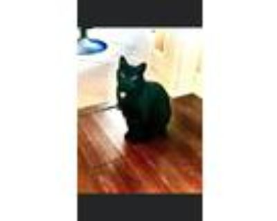 Adopt Gambino a Black (Mostly) Domestic Shorthair / Mixed (short coat) cat in