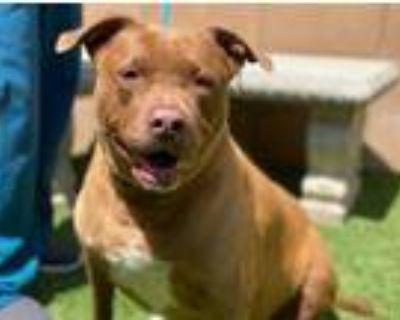 Adopt Kalani (A510005) a Brown/Chocolate Labrador Retriever / Mixed dog in