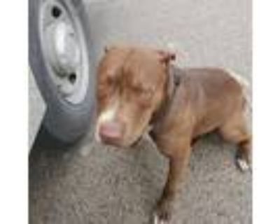 Adopt Charlie a Brown/Chocolate American Pit Bull Terrier / Mixed dog in Fort