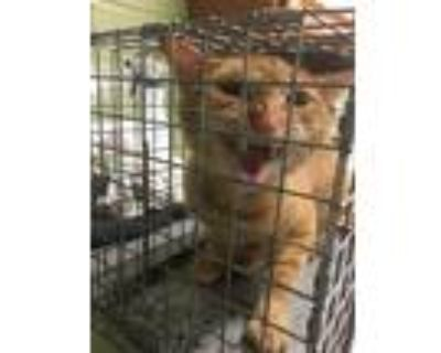 Adopt RAJA a Orange or Red (Mostly) Domestic Shorthair / Mixed (short coat) cat