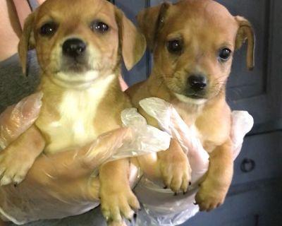 Chi weenie puppies