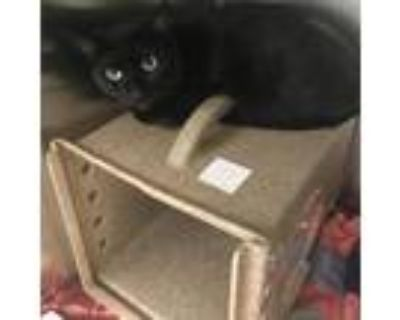 Adopt Lucky a All Black Domestic Shorthair / Mixed cat in Philadelphia