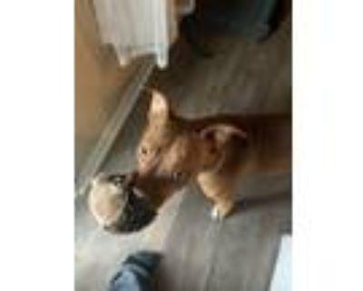 Adopt Leo a Red/Golden/Orange/Chestnut American Pit Bull Terrier / Mixed dog in
