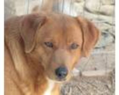 Adopt Buster Brown a Corgi, Labrador Retriever