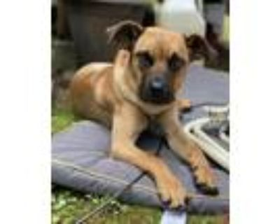 Adopt Rain - Sweetest Girl a Red/Golden/Orange/Chestnut - with Black Cane Corso