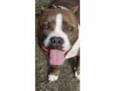 Adopt Cardi a Gray/Silver/Salt & Pepper - with White American Pit Bull Terrier /