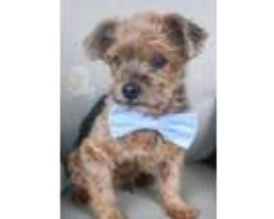 Adopt Scooty a Yorkshire Terrier