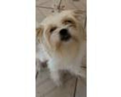 Adopt Belle a Black - with Tan, Yellow or Fawn Shih Tzu / Pomeranian / Mixed dog