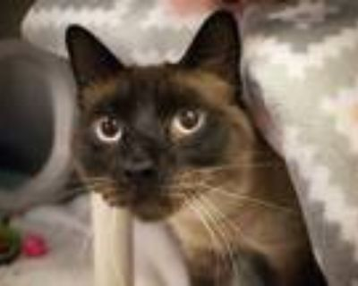 Adopt SAM a White (Mostly) Siamese / Mixed (short coat) cat in Phoenix