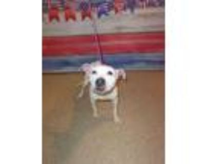 Adopt Kaiya - rescue only a White American Pit Bull Terrier / Mixed dog in