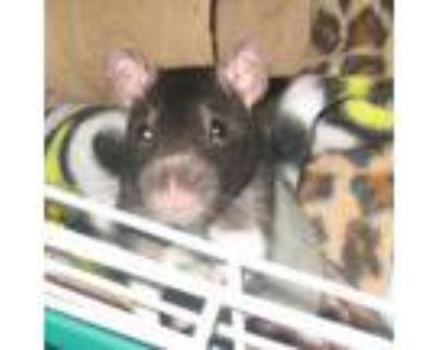 Adopt Mochi a Rat