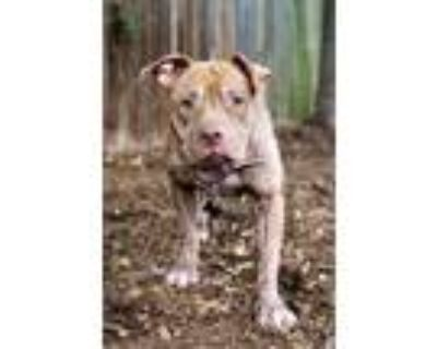 Adopt Cappy a Gray/Blue/Silver/Salt & Pepper American Pit Bull Terrier / Mixed
