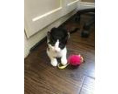 Delta, American Shorthair For Adoption In North Hollywood, California