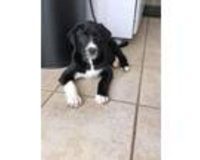 Adopt Vader a Black - with White Labrador Retriever / American Pit Bull Terrier