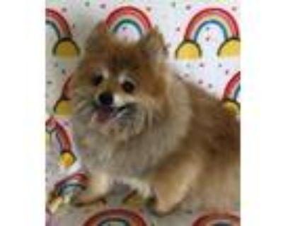 Adopt Wookie a Pomeranian
