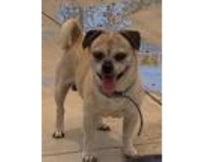 Adopt Bigalow (with Sue) a Pug