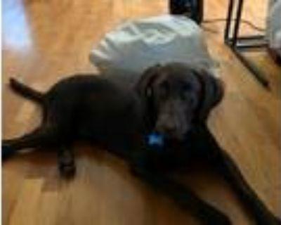 Adopt Finnley a Brown/Chocolate Labrador Retriever dog in Redondo Beach