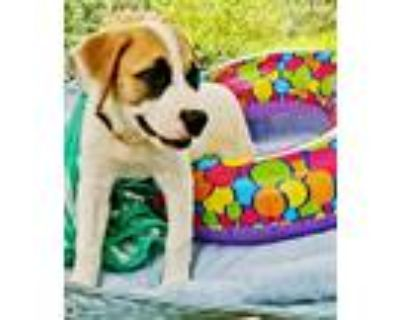 Adopt Kate a White - with Red, Golden, Orange or Chestnut Great Pyrenees / St.