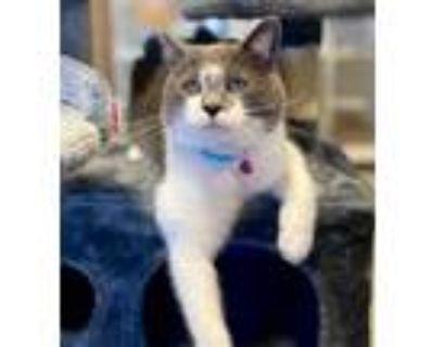 Adopt Simmy a Domestic Shorthair / Mixed (short coat) cat in Park City