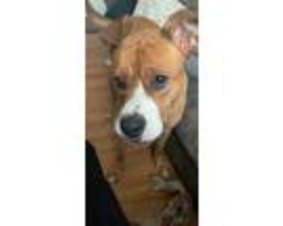 Adopt Yasmin a Tan/Yellow/Fawn - with White German Shepherd Dog / English