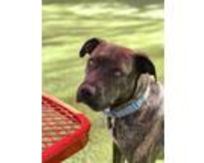 Adopt Sophie a Staffordshire Bull Terrier