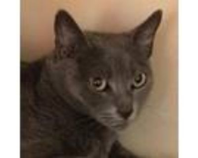 Adopt Laura a Gray or Blue Russian Blue / Mixed cat in Tempe, AZ (31462819)