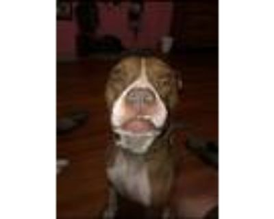 Adopt Roxie a Brindle - with White Boxer / Mixed dog in Pelzer, SC (31986400)