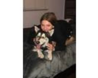 Adopt Luna a Black - with White Husky / Shepherd (Unknown Type) / Mixed dog in