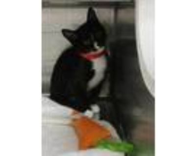 Adopt Soft Paws a All Black American Shorthair / Domestic Shorthair / Mixed cat