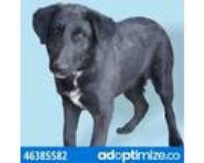 Adopt 46385582 a Black Labrador Retriever / Mixed dog in El Paso, TX (31524069)