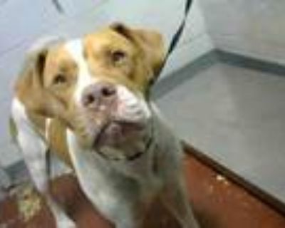 Adopt ALBEE a Pit Bull Terrier