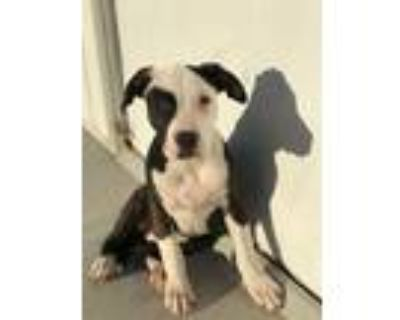 Adopt Mia a Brindle - with White American Pit Bull Terrier / Mixed dog in El