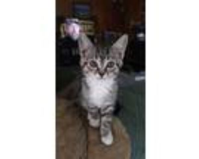 Adopt Miss Whiskers a Domestic Short Hair
