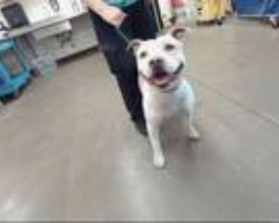 Adopt MORTY a Pit Bull Terrier