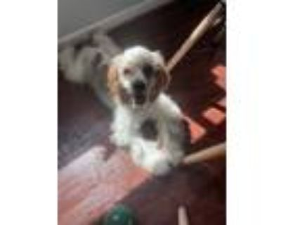 Adopt Archie a White - with Brown or Chocolate Cocker Spaniel / Mixed dog in