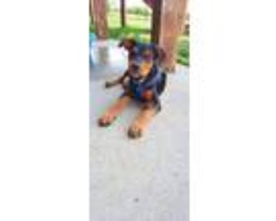 Adopt Leo the Lion - Fostered in Omaha a Beagle, Mixed Breed