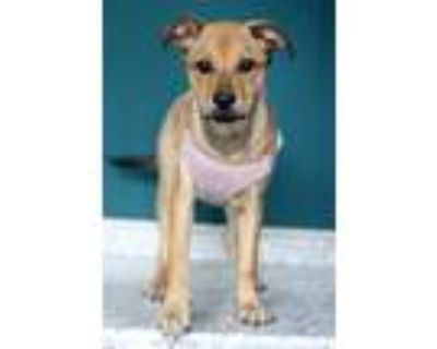 Adopt Cora a Tan/Yellow/Fawn Collie / Retriever (Unknown Type) / Mixed dog in