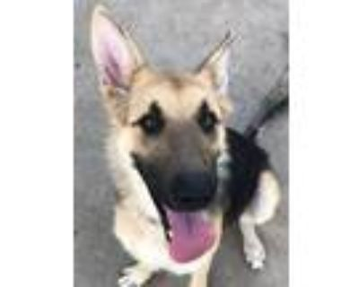 Adopt Sophie a Tan/Yellow/Fawn - with Black German Shepherd Dog / Mixed dog in