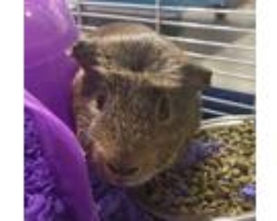 Adopt COCOA a Tan or Beige Guinea Pig (short coat) small animal in Tucson