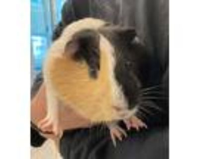 Adopt Butterscotch a Guinea Pig small animal in Golden, CO (32028396)