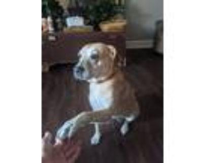 Adopt Roo a Tan/Yellow/Fawn - with White Labrador Retriever / Boxer / Mixed dog