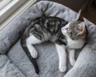 Adopt Cha-Cha a Domestic Shorthair cat in Denver, CO (32109121)
