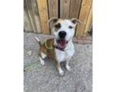 Adopt Elektra a White American Pit Bull Terrier / Mixed dog in Fort Worth