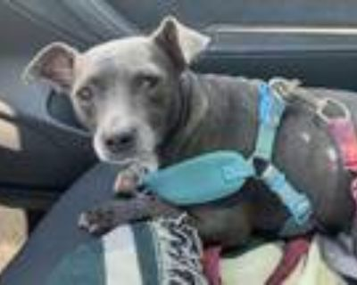 Adopt PEBBLES a Gray/Silver/Salt & Pepper - with White Italian Greyhound /