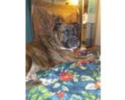 Adopt Russ a Brindle - with White Mastiff / American Pit Bull Terrier / Mixed