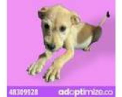Adopt 48309928 a Tan/Yellow/Fawn Fox Terrier (Wirehaired) / Mixed dog in El