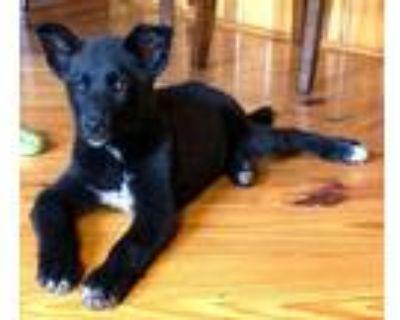 Adopt Ketch a Husky
