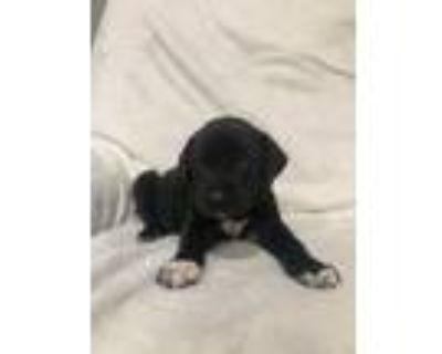 Adopt APPACHE (ADOPTION PENDING) (DARK GREEN COLLAR) a Labrador Retriever /