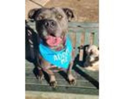 Adopt HERMIE a Pit Bull Terrier